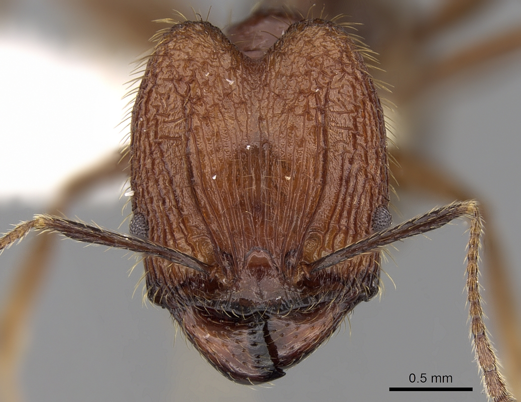 Image of Pheidole aglae