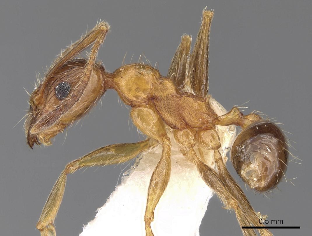 Image of Pheidole jucunda