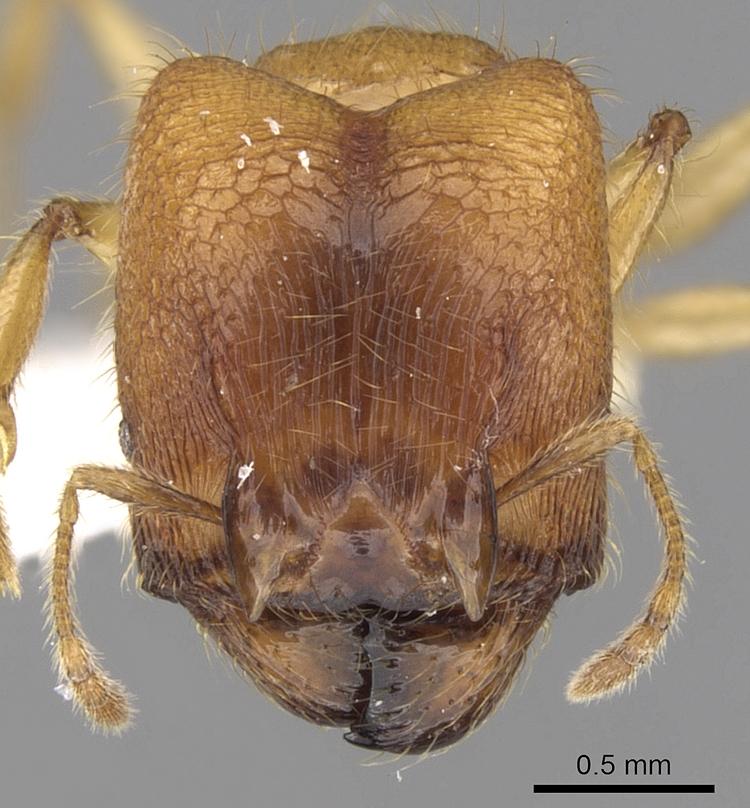 Image of Pheidole upeneci