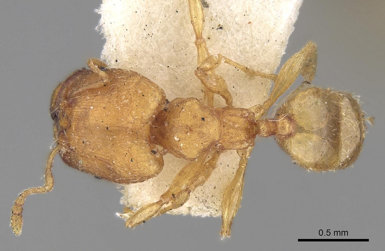 Image of Pheidole sagei