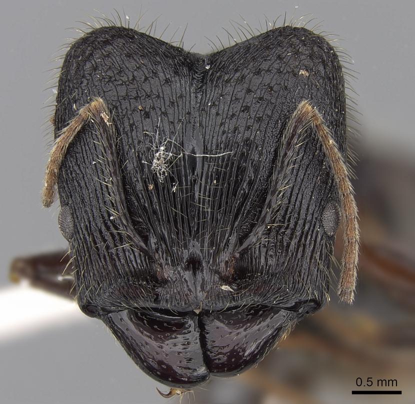 Image of Pheidole comata