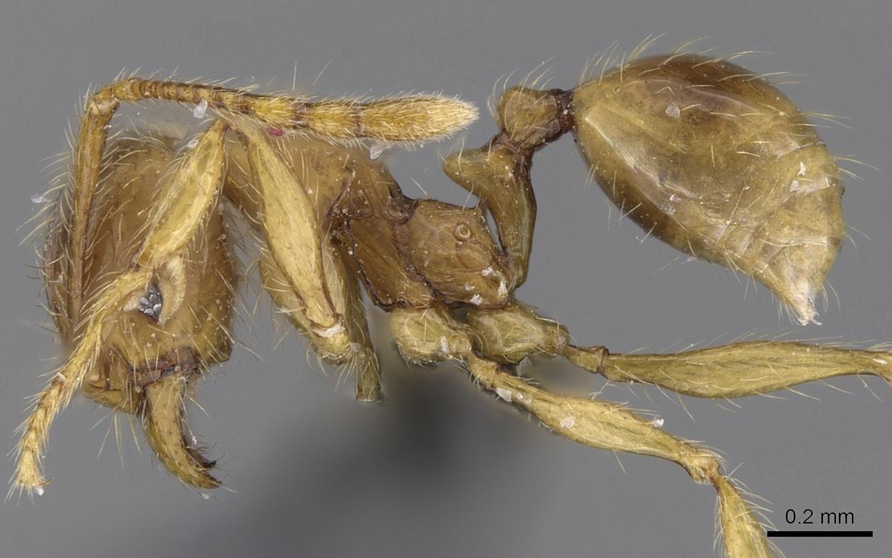 Image of Pheidole tandjongensis