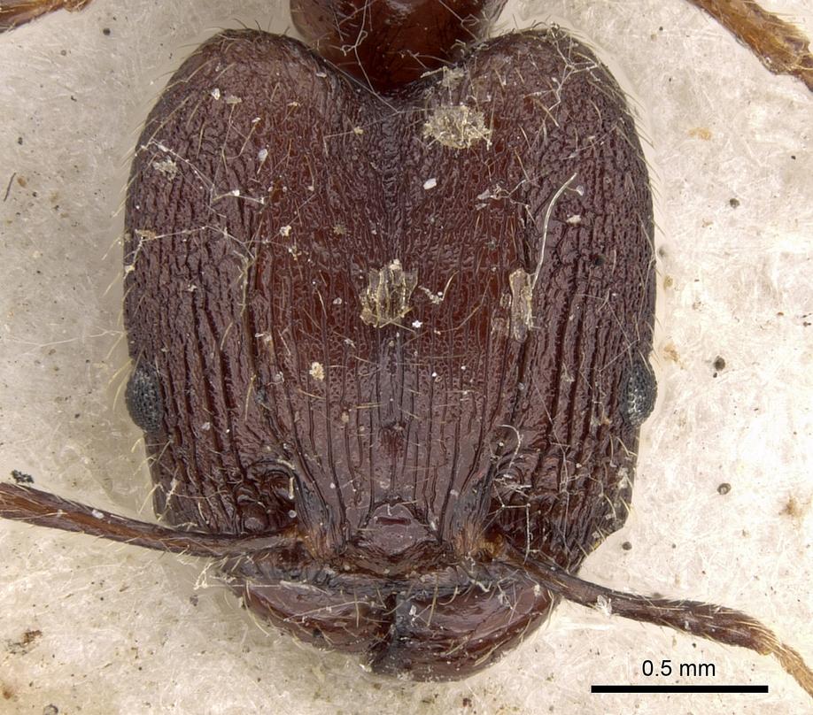 Image of Pheidole impressiceps