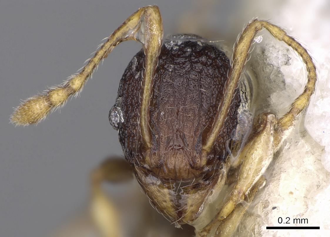 Image of Pheidole xanthocnemis