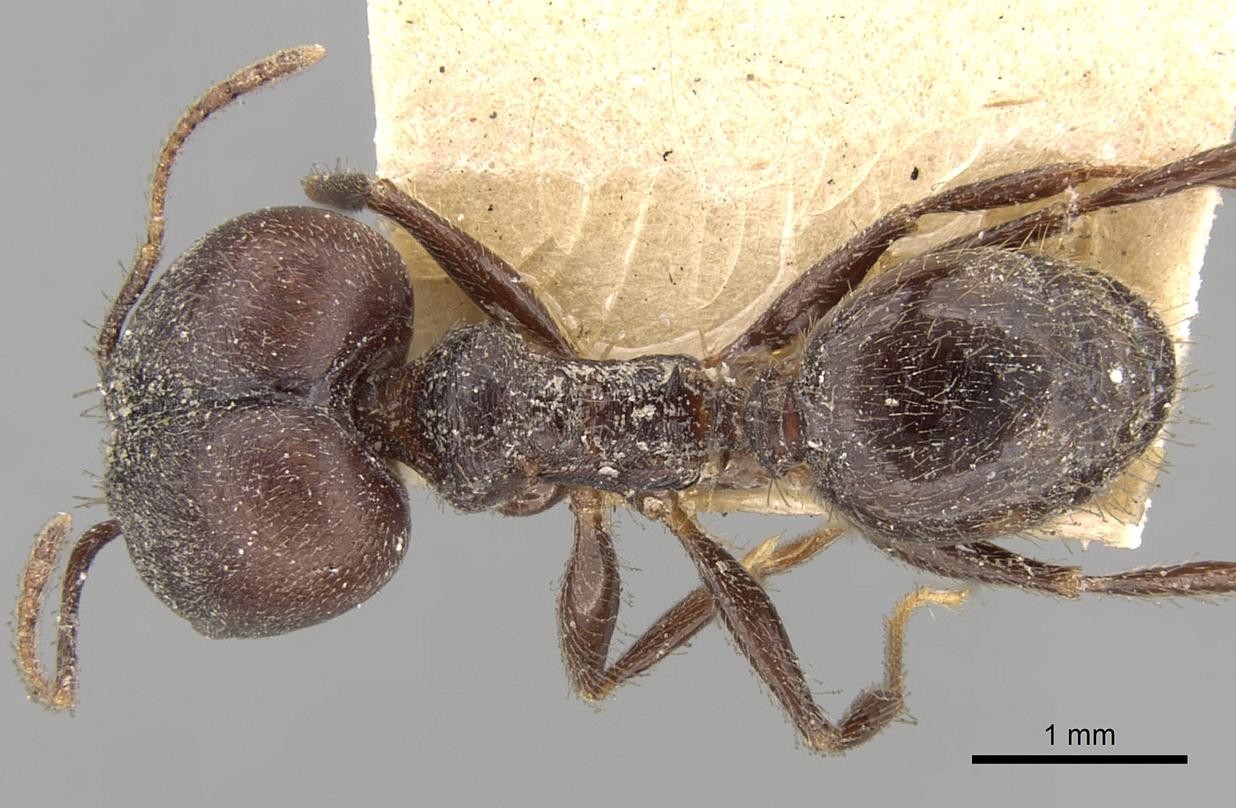 Image of Pheidole steinheili