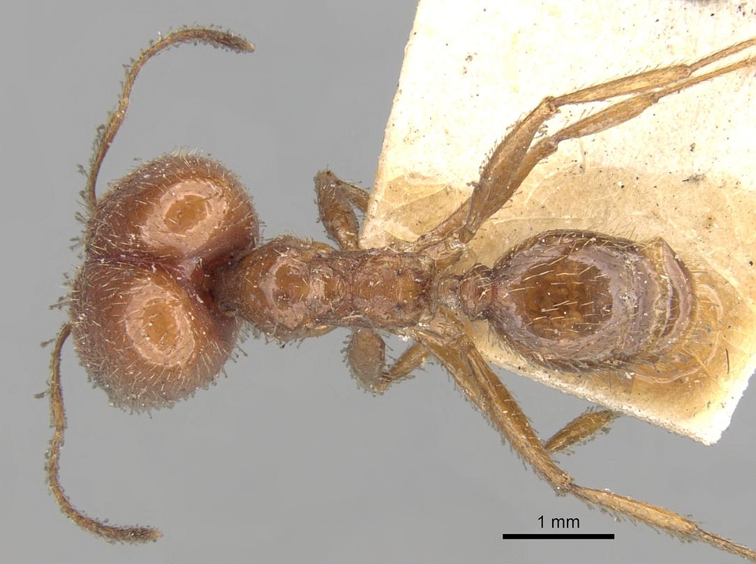 Image of Pheidole praeusta