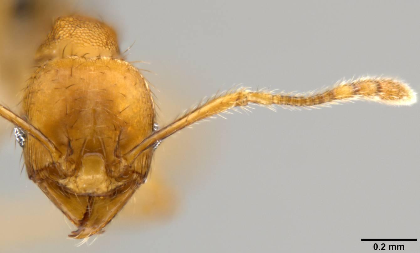 Image of Pheidole sericella