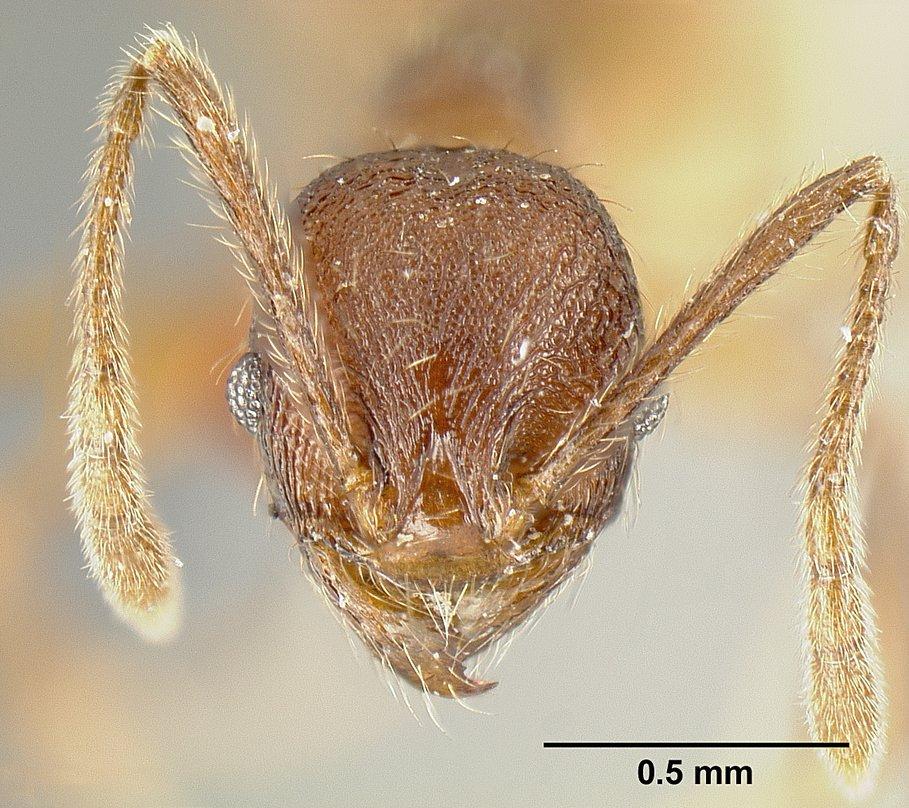 Image of Pheidole laeviventris