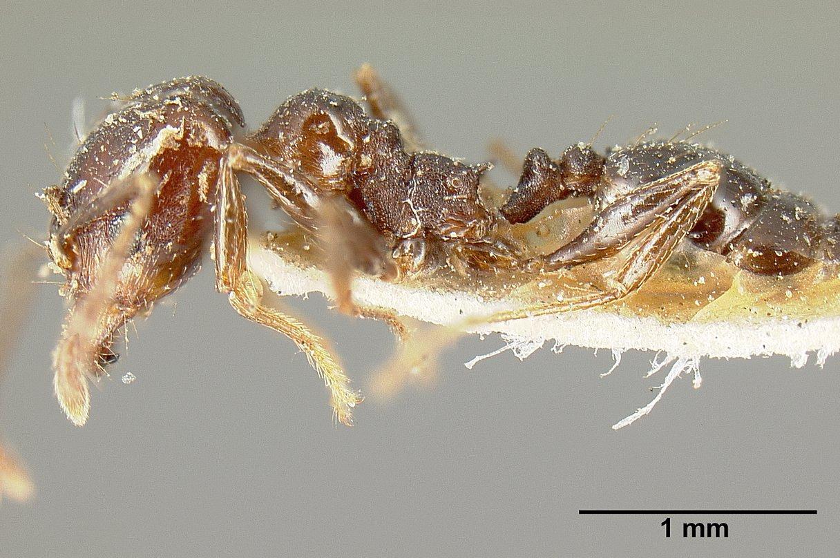 Image of Pheidole piceonigra