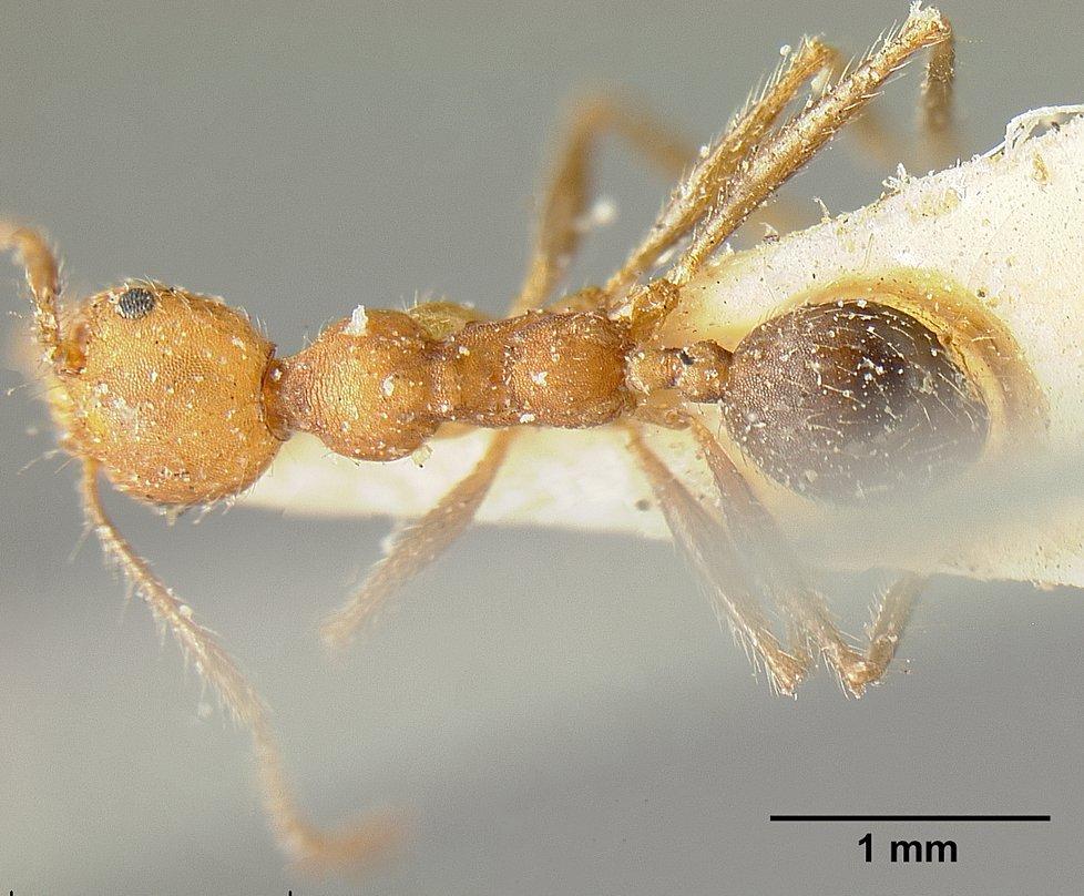Image of Pheidole inermis