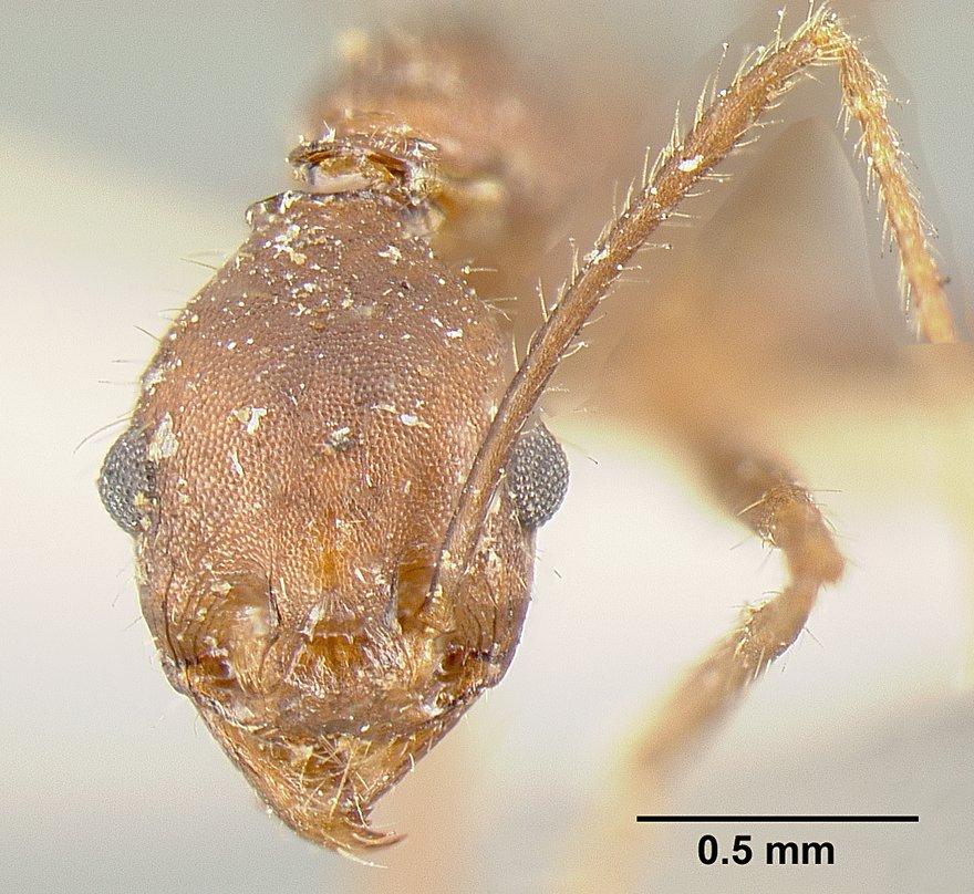 Image of Pheidole exasperata