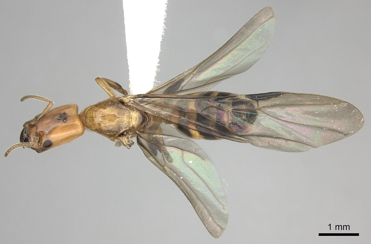 Image of Azteca beltii