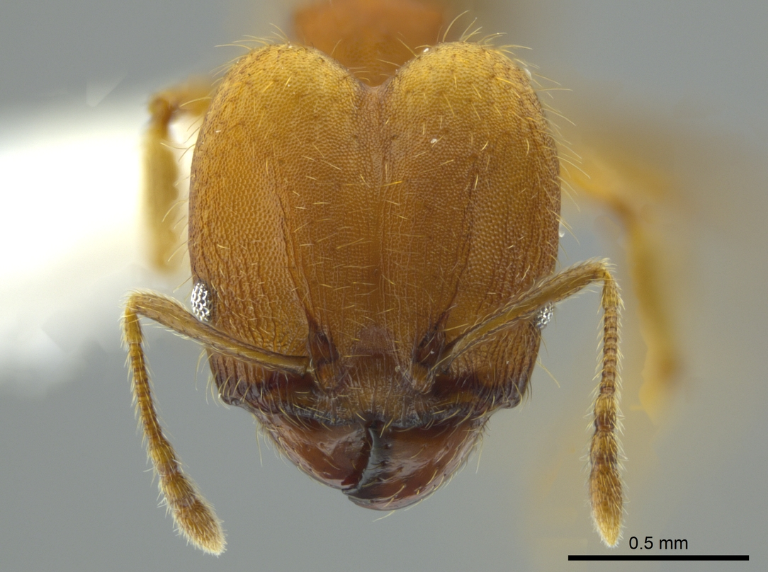Image of Pheidole anastasii