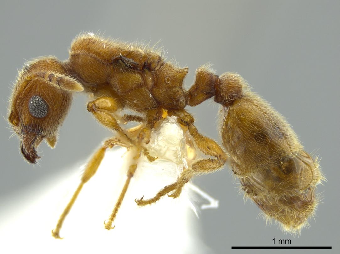 Image of Pheidole bicornis