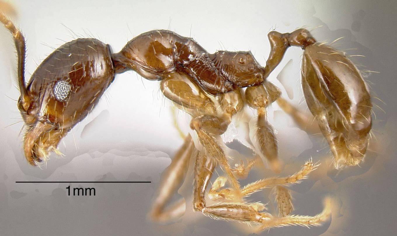 Image of Pheidole innupta