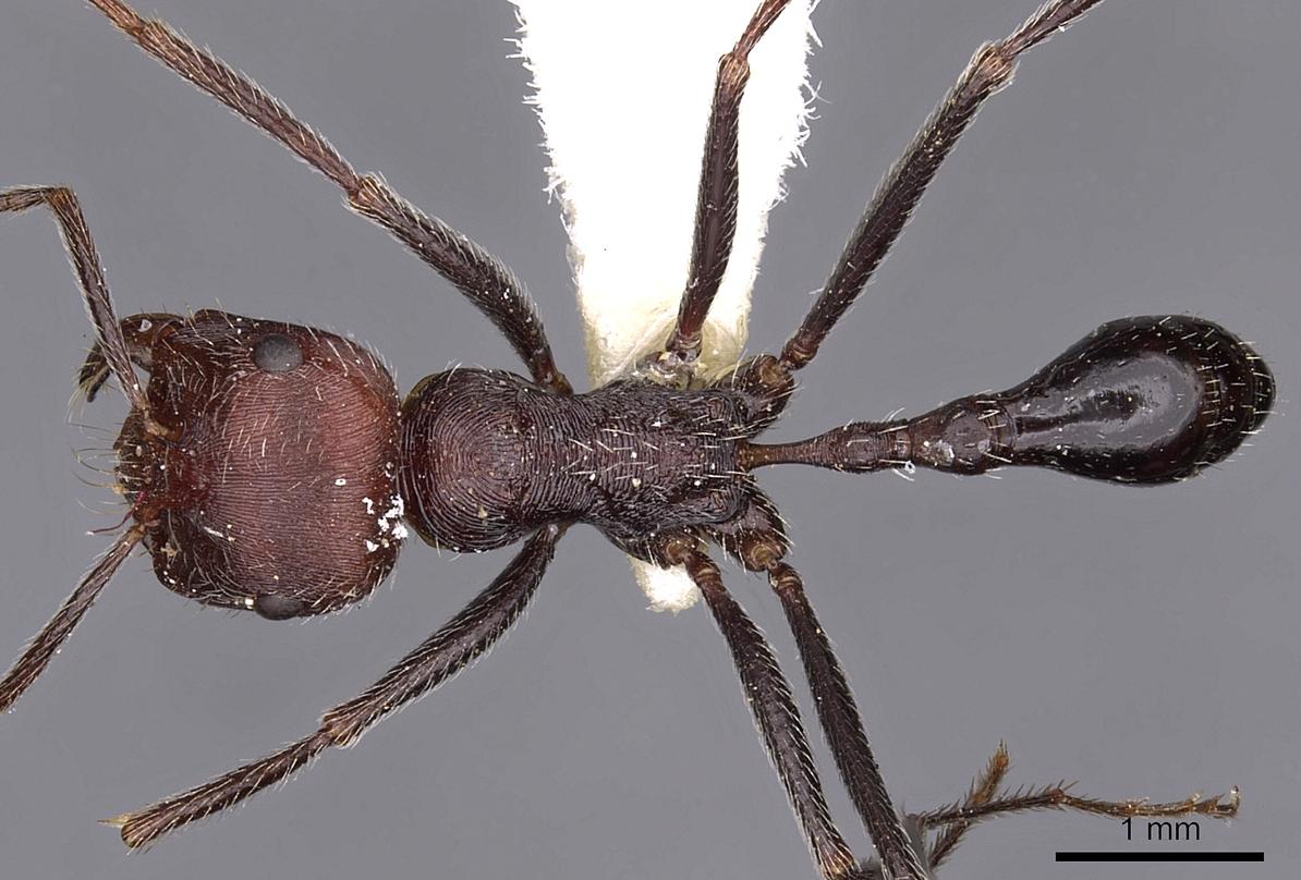 Image of Ocymyrmex phraxus