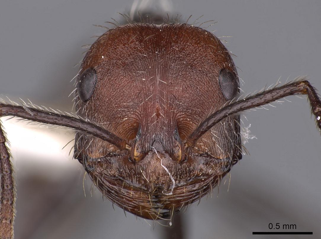 Image of Ocymyrmex okys