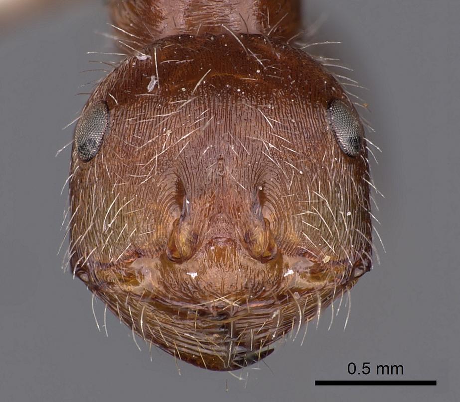Image of Ocymyrmex shushan