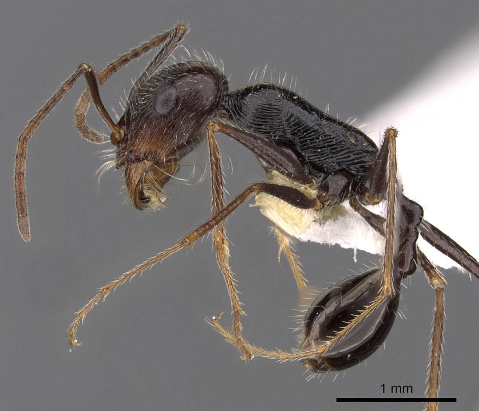 Image of Ocymyrmex tachys