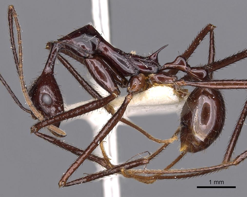 Image of Aphaenogaster dromedaria