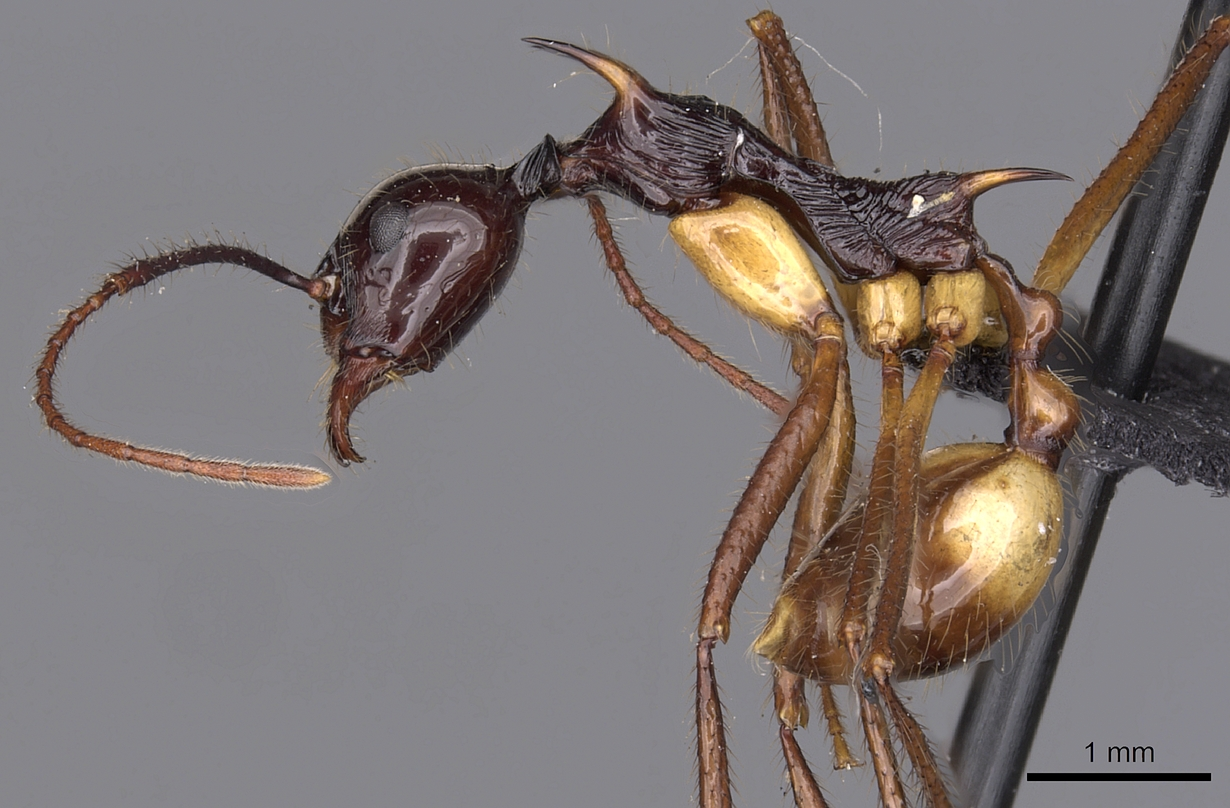 Image of Aphaenogaster perplexa
