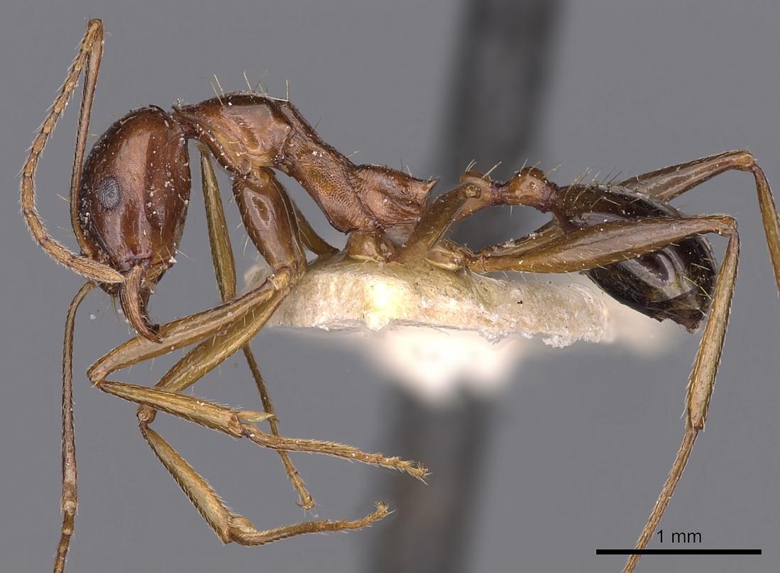 Image of Aphaenogaster fabulosa