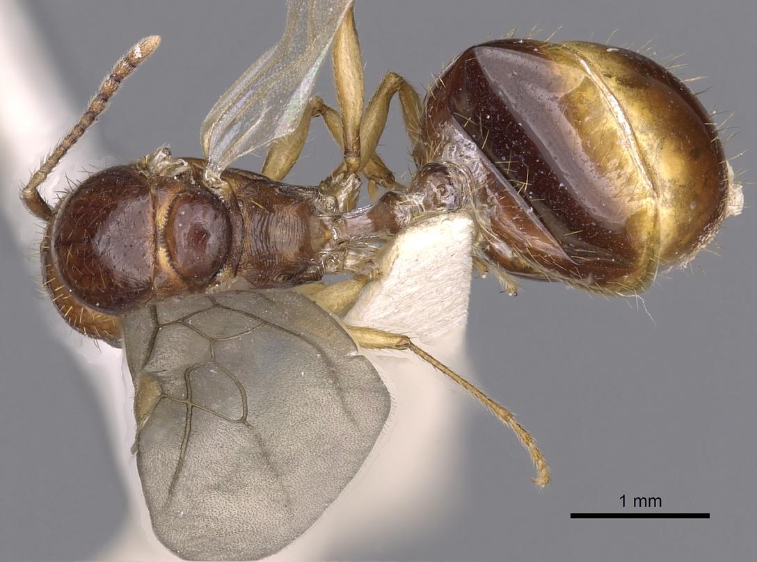 Image of Aphaenogaster burri