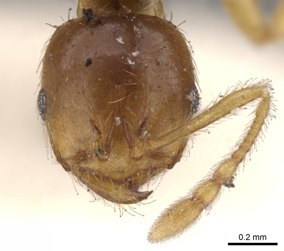 Image of Lophomyrmex taivanae