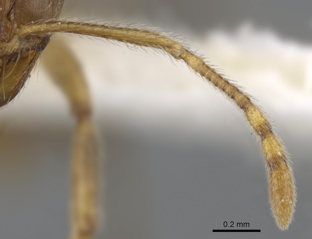 Image of Lophomyrmex kali
