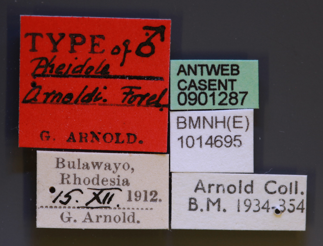 Image of Pheidole arnoldi