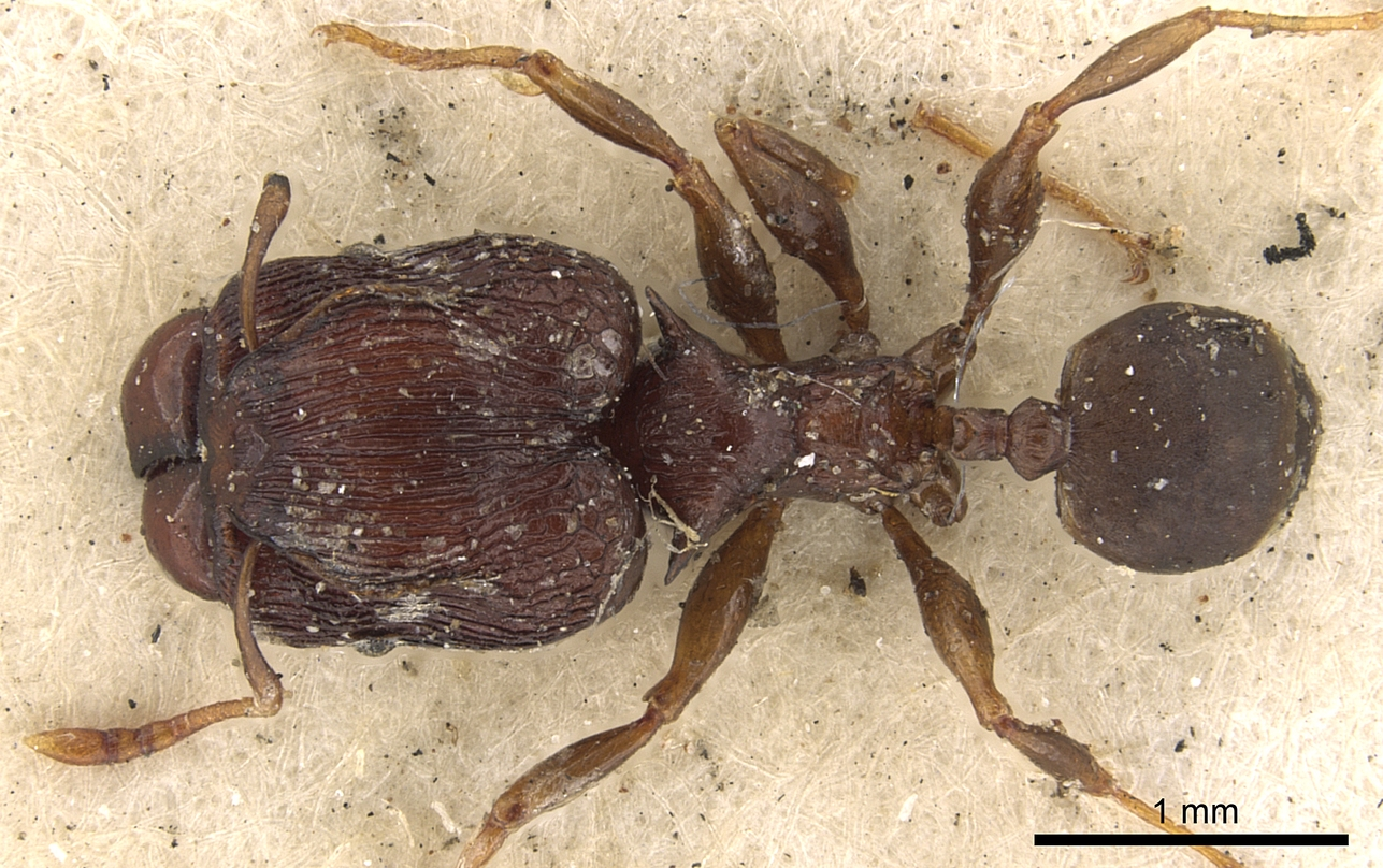 Image of Pheidole singularis
