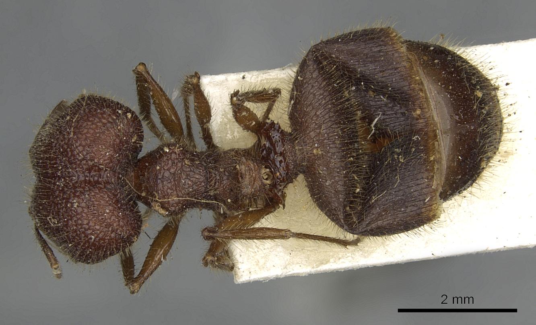 Image of Pheidole rugosa