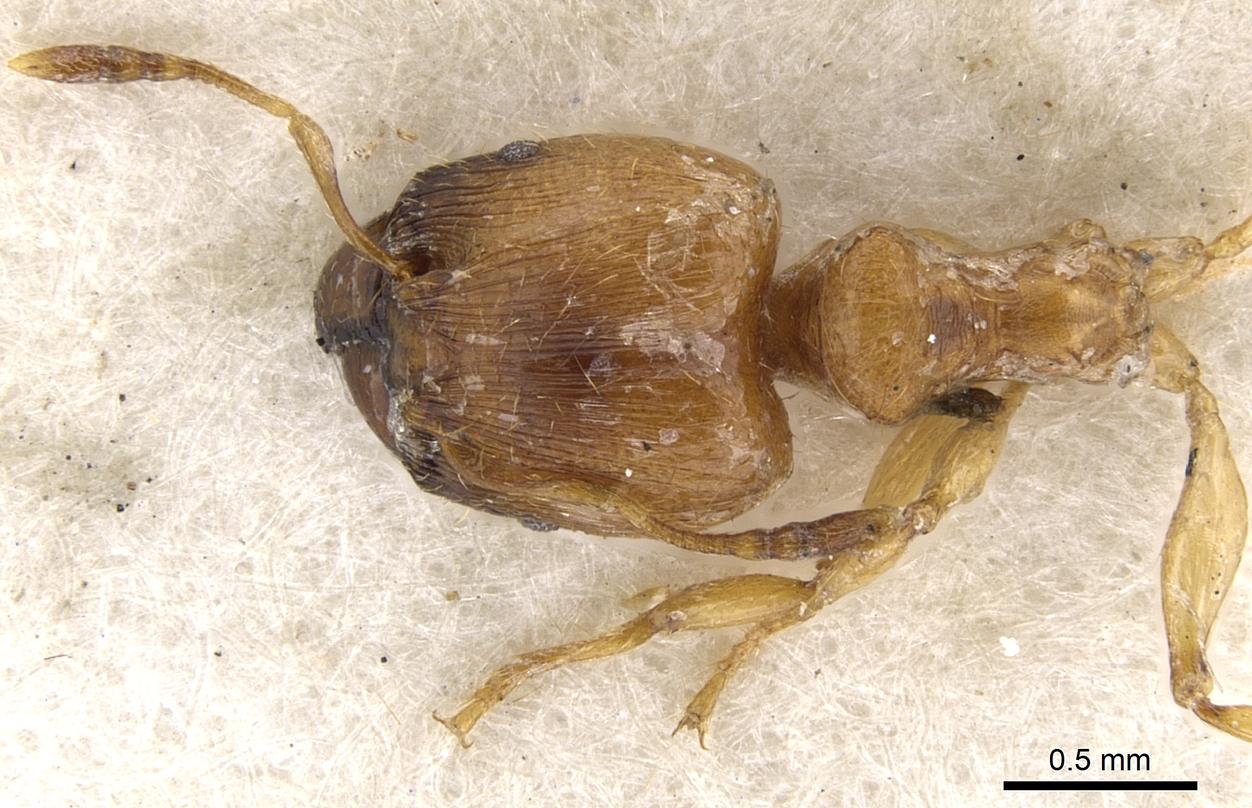 Image of Pheidole melanogaster