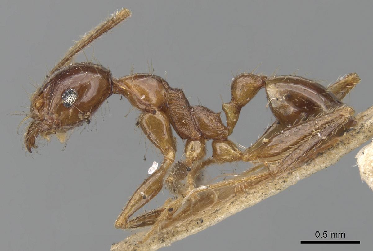Image of Pheidole nodifera