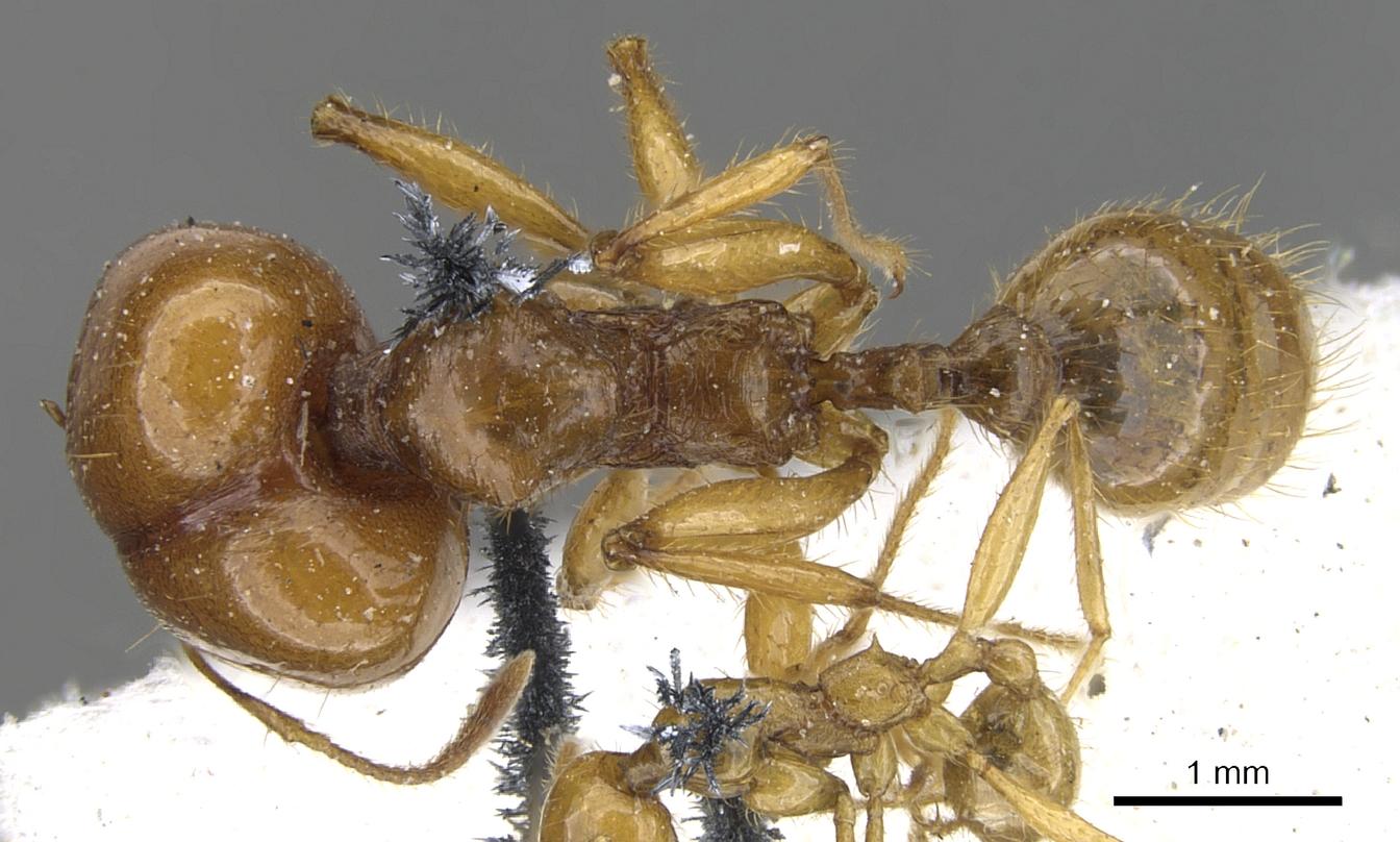 Image of Pheidole auropilosa