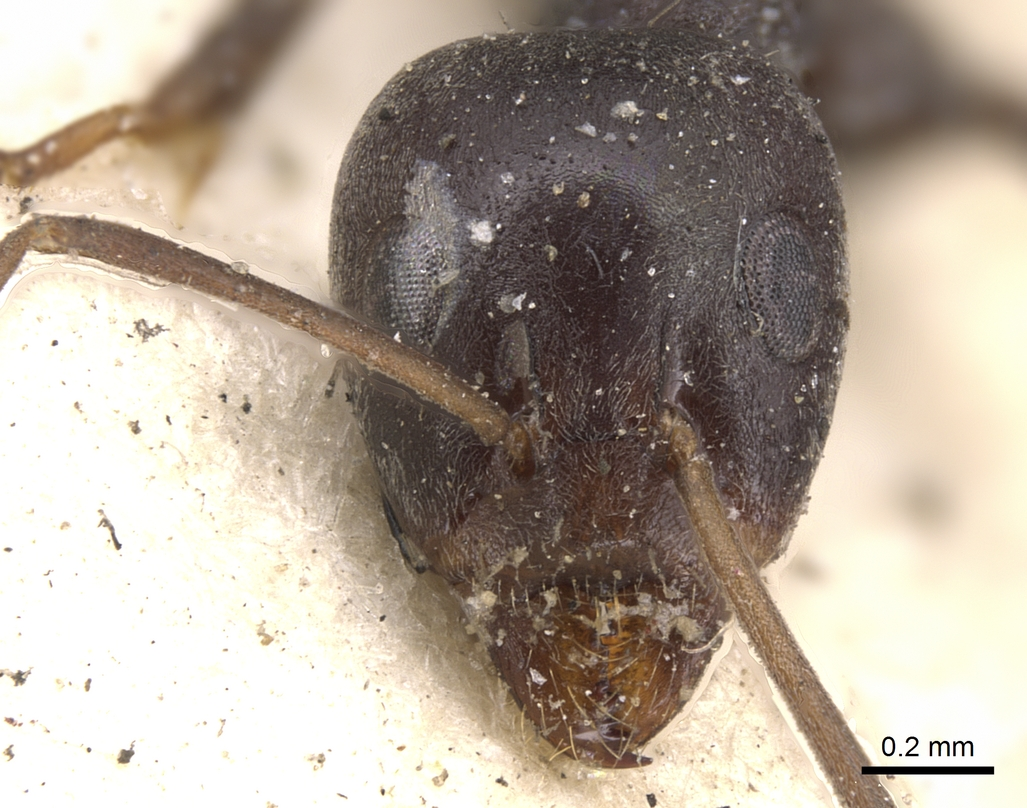 Image of Anonychomyrma glabrata