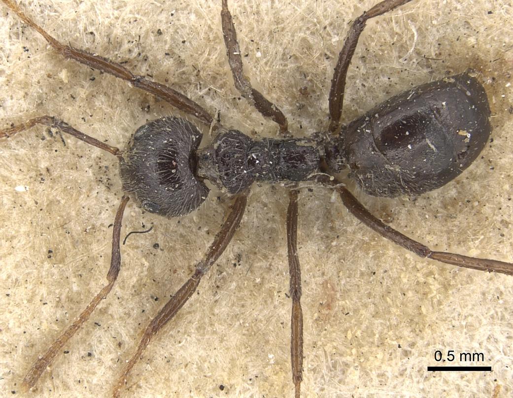 Image of Dolichoderus lactarius