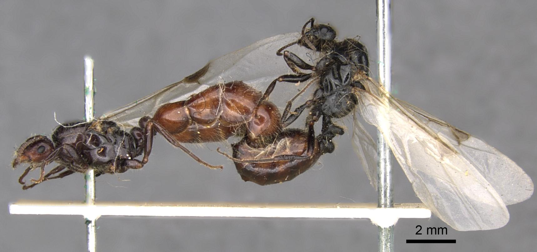 Image of Monomorium evansi