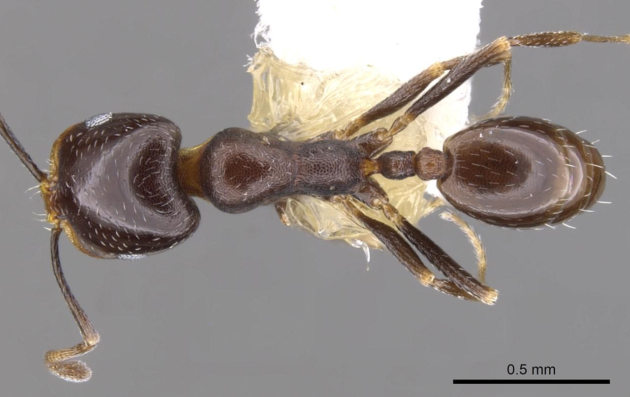 Image of Monomorium alamarum