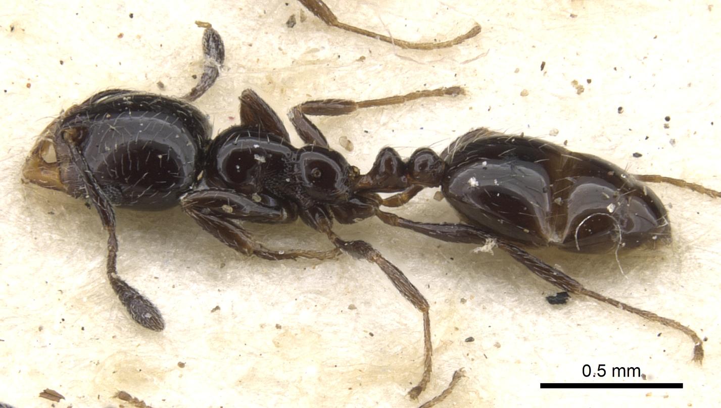 Image of Monomorium xanthognathum