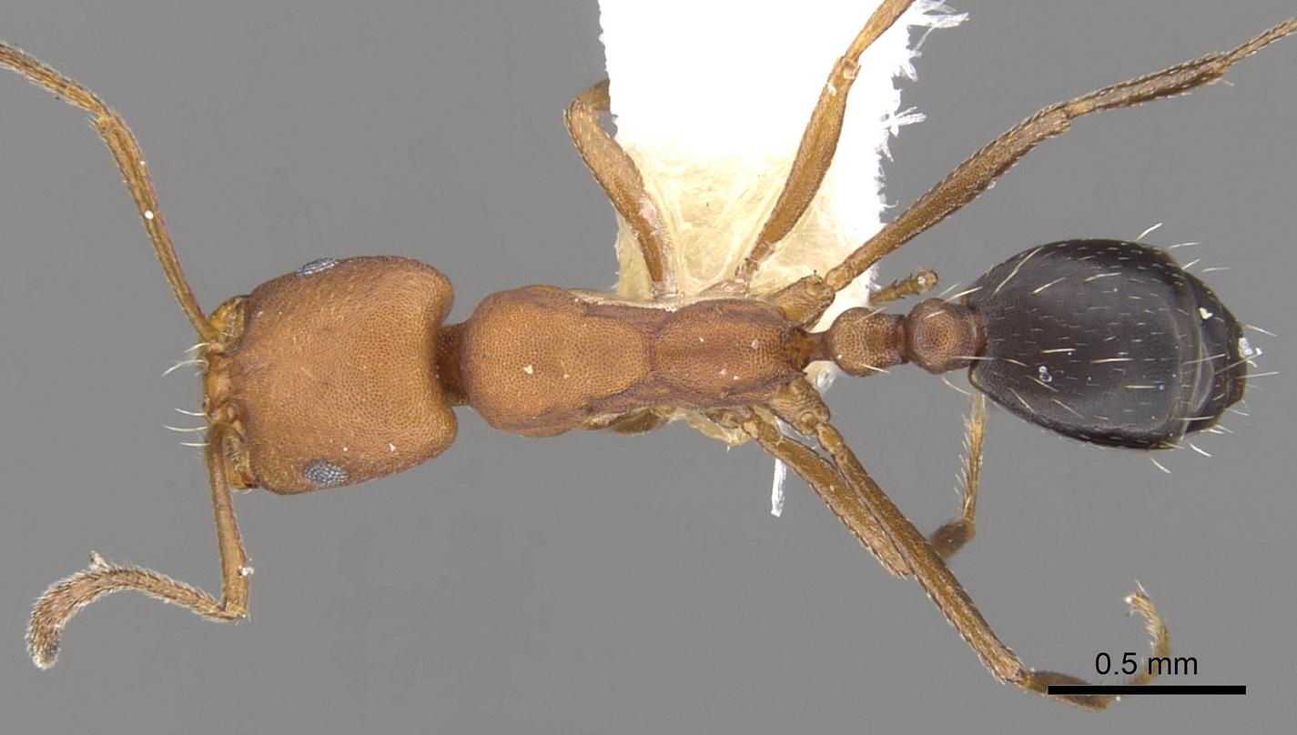 Image of Monomorium westi