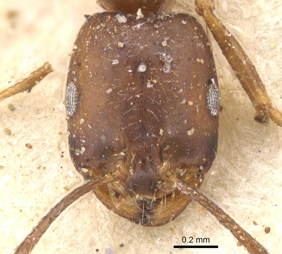 Image of Monomorium ocellatum