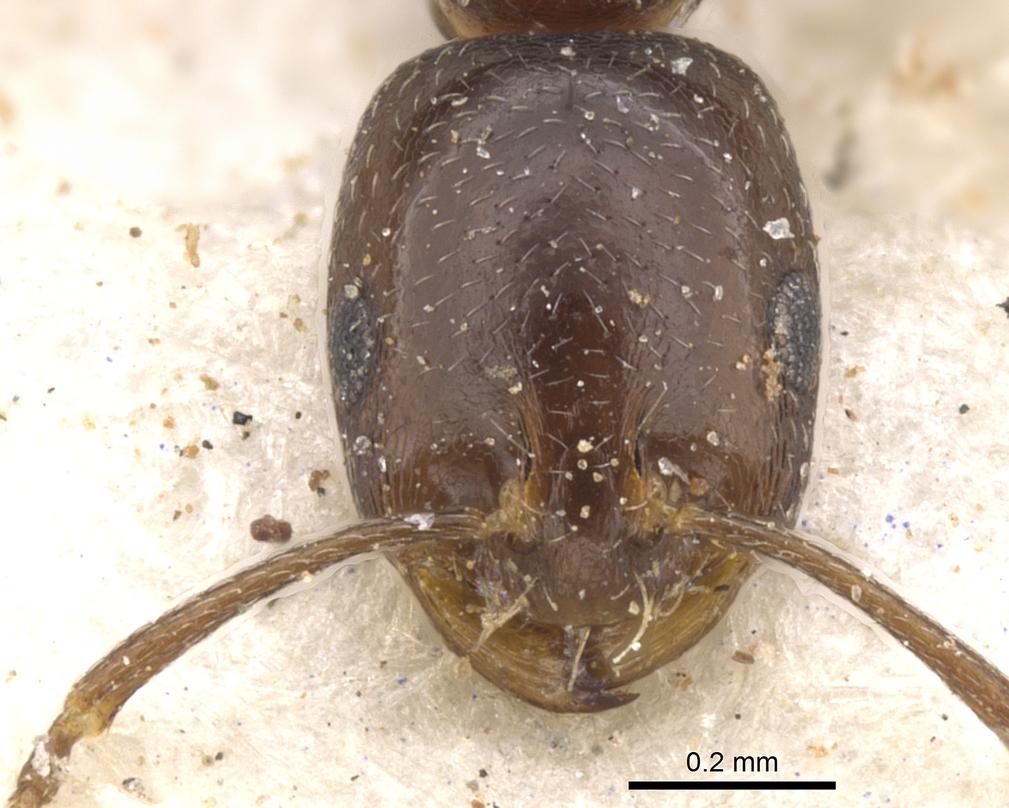 Image of Monomorium willowmorense