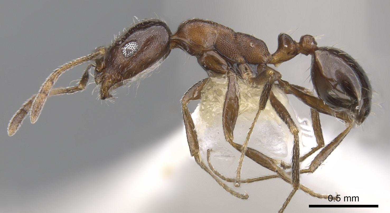 Image of Monomorium drapenum