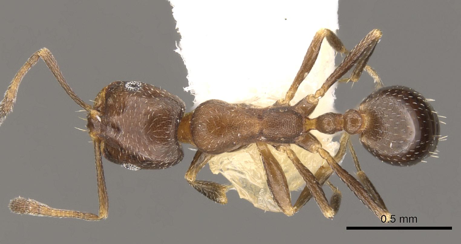 Image of Monomorium esharre