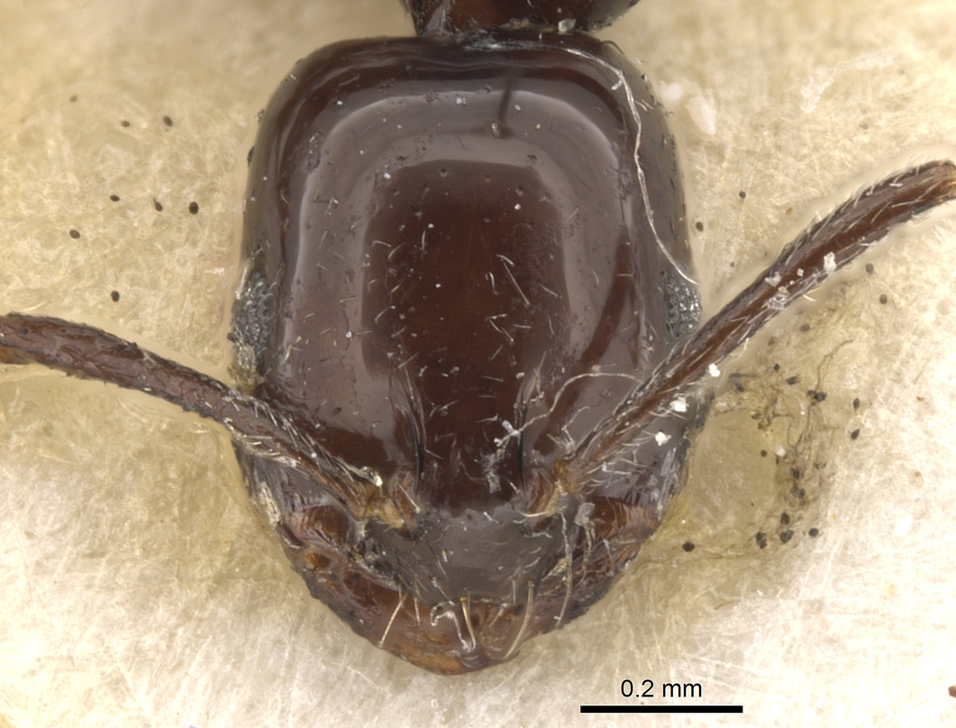 Image of Monomorium boltoni