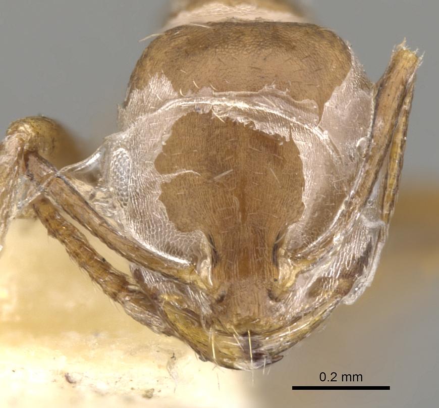 Image of Monomorium buxtoni