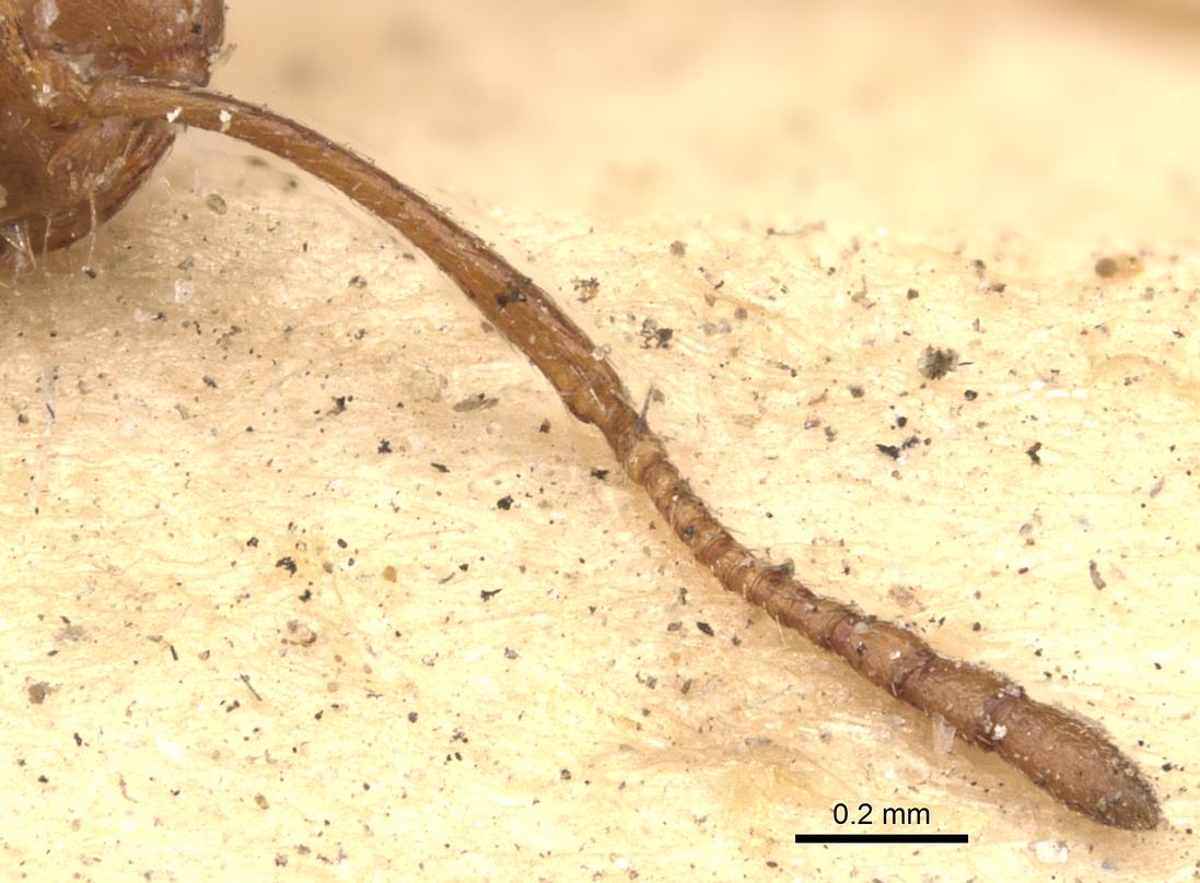 Image of Monomorium venustum
