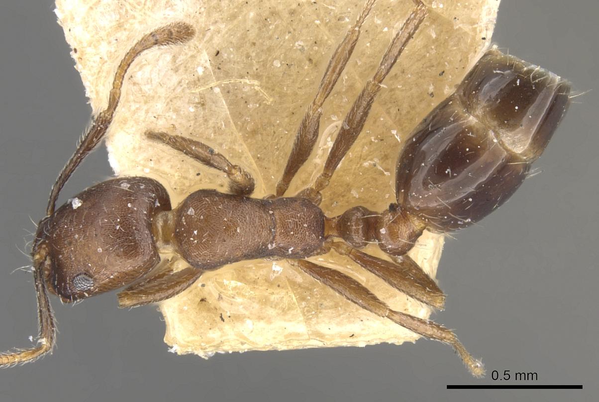 Image of Monomorium schurri