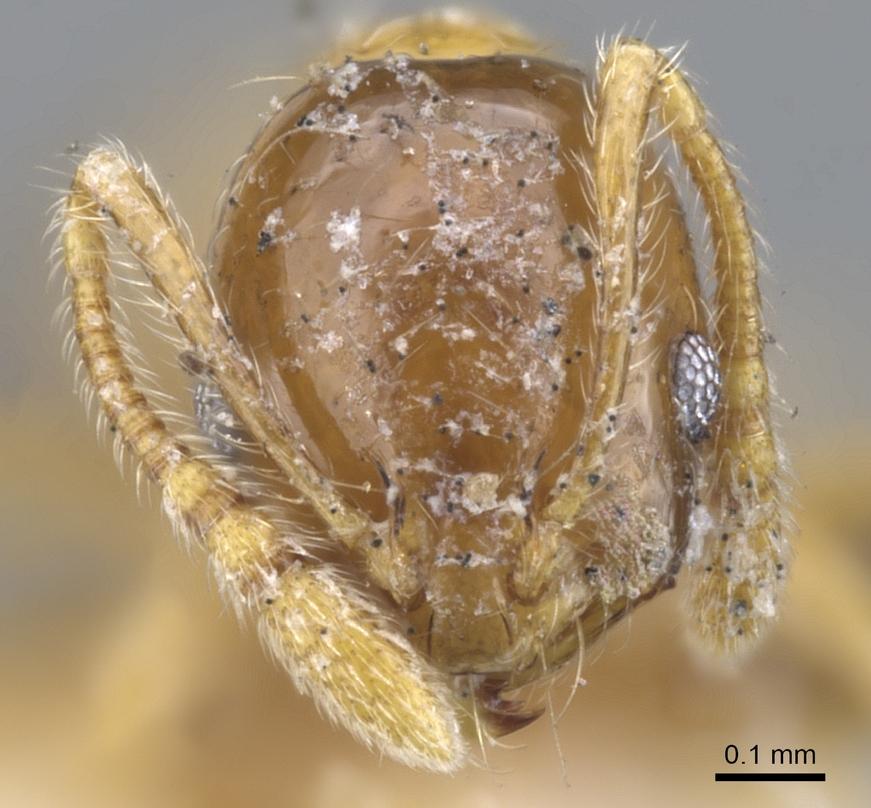 Image of Monomorium crawleyi